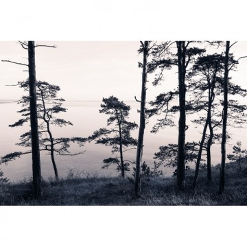 R13021-8 OLD PINE TREES