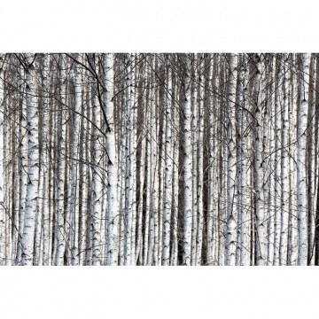 R13031-8 BIRCH TRUNKS
