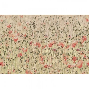 R16391 Poppies